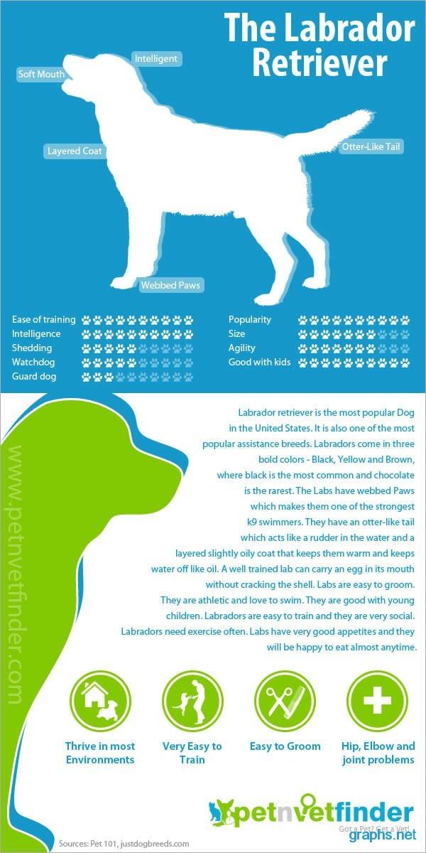 labrador puppies fact sheet