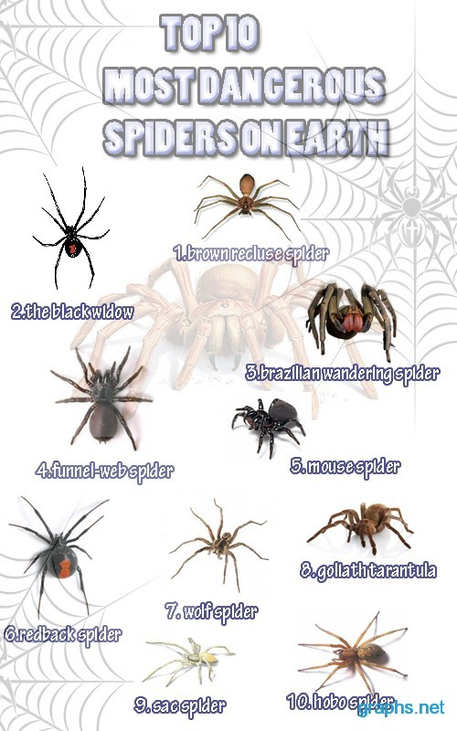 most dangerous spider in the world top 10