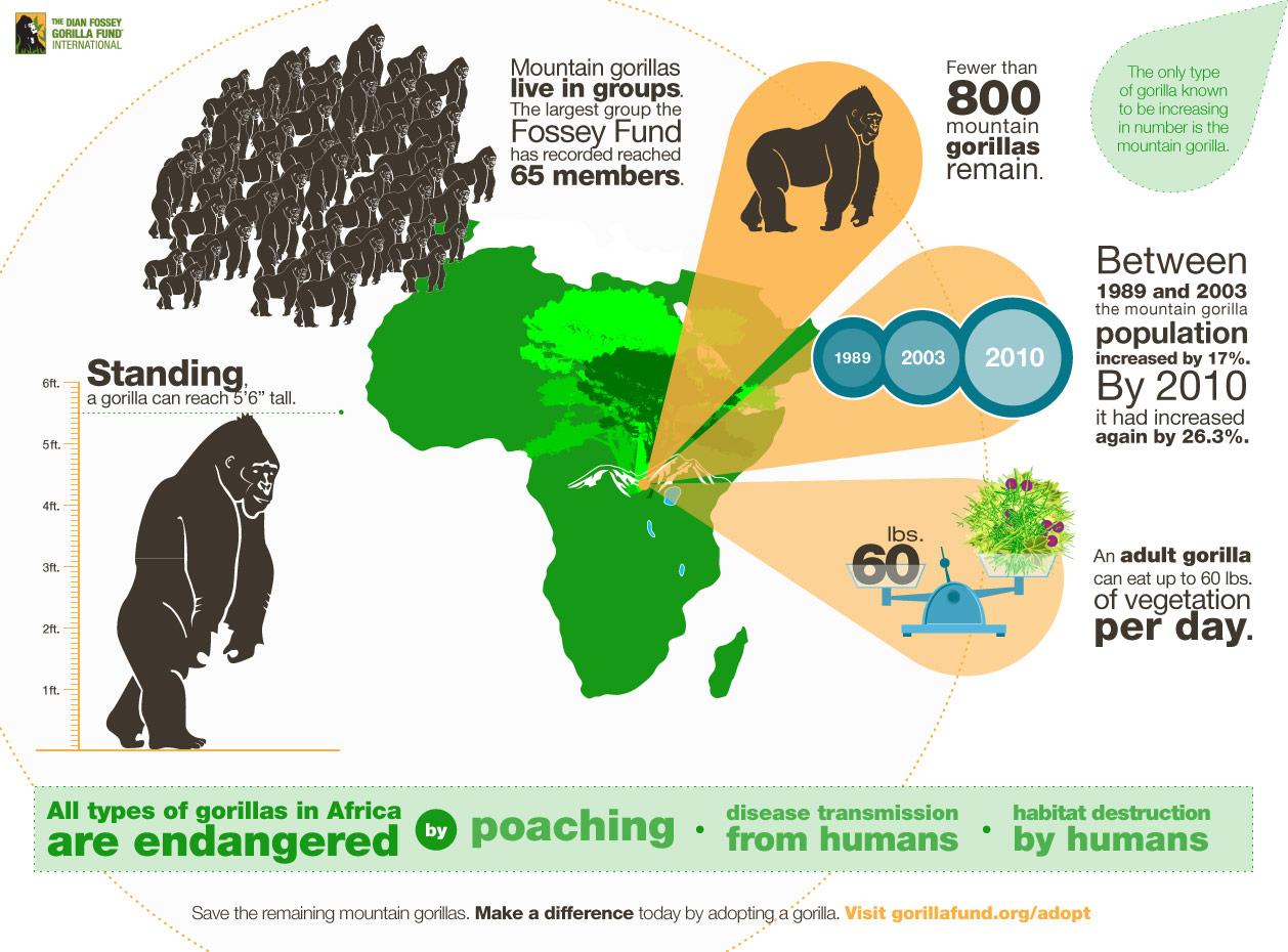 gorilla infographics