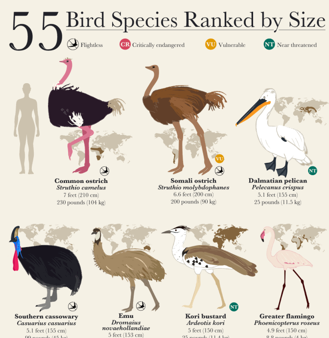 This Incredible Bird Chart Ranks Birds by Size infographic