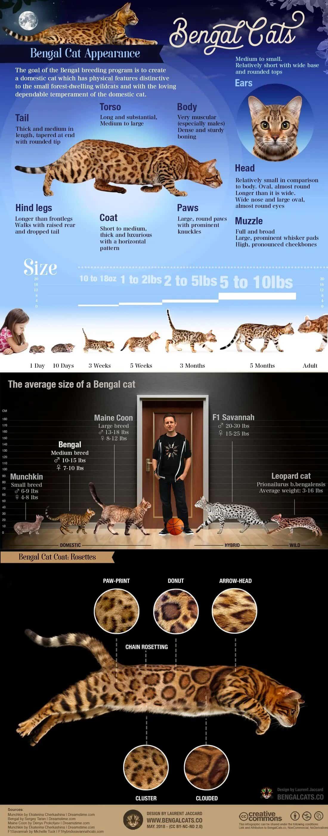Bengal Cat Breed Characteristics